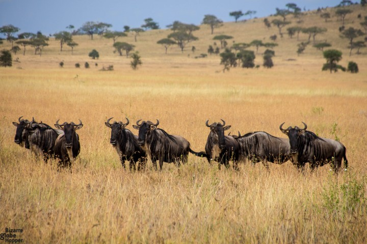 Wildebeests in the Serengeti National Park, Tanzania