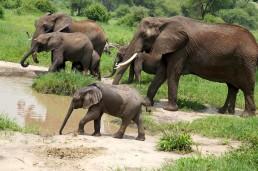 Elephants in the safari in Tanzania.