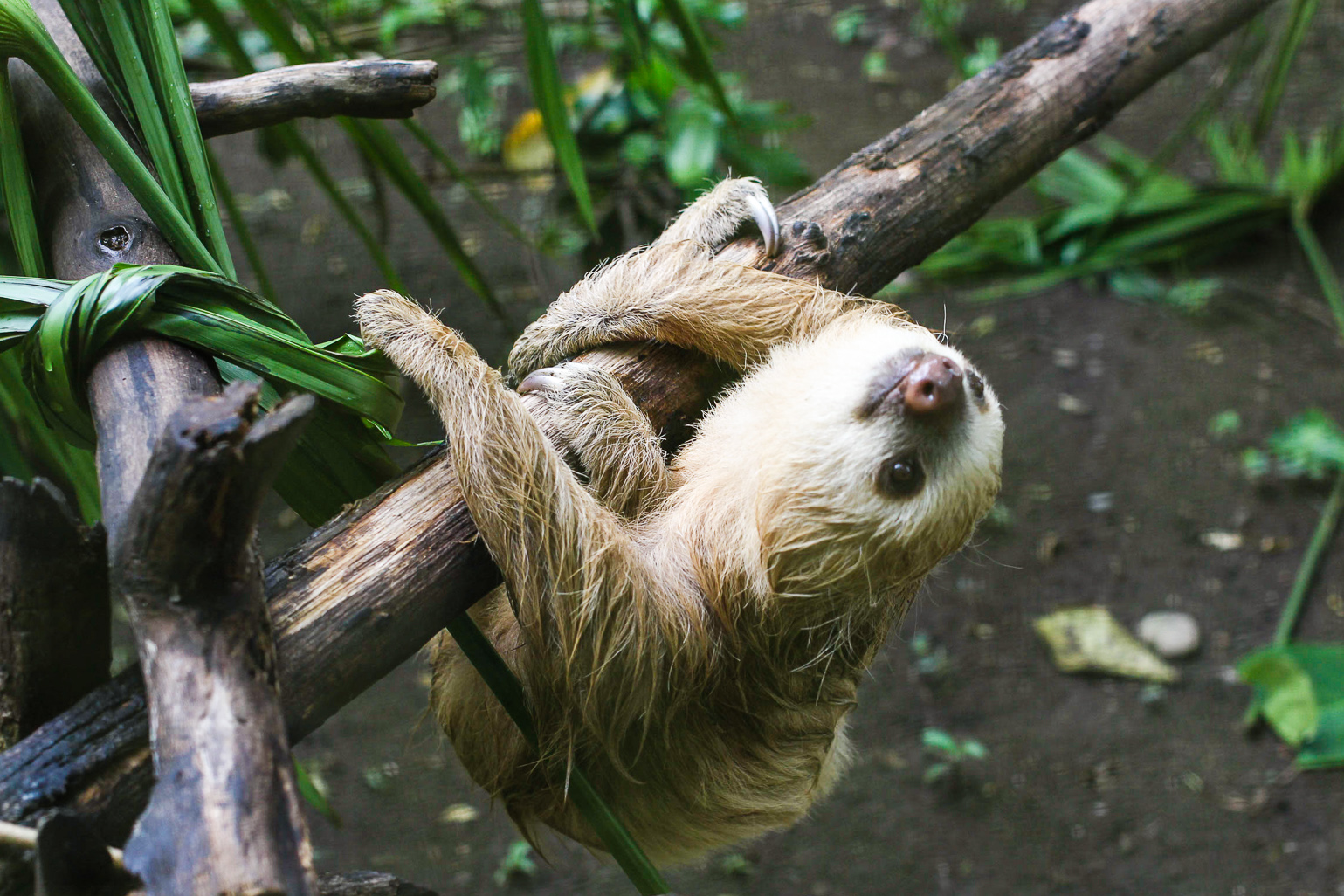 Active sloth at the Tree of Life wildlife sanctuary in Cahuita, Costa Rica