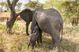 A baby elephant feeding, Tarangire National Park, Tanzania