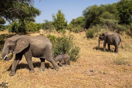 A very tiny baby elephant with mom and a friend in Tarangire National Park, Tanzania
