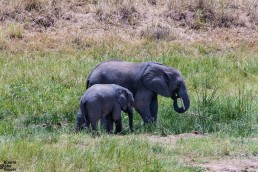 Another baby elephant with its mom in Tarangire National Park, Tanzania