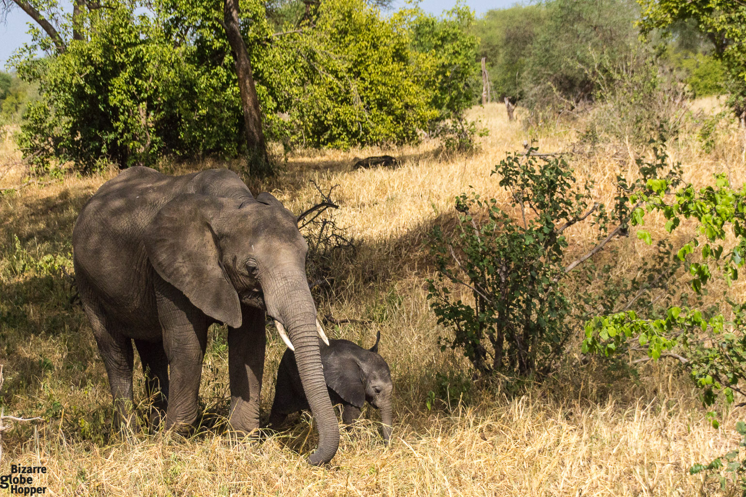 Baby elephant with its mother in Tarangire National Park in Tanzania