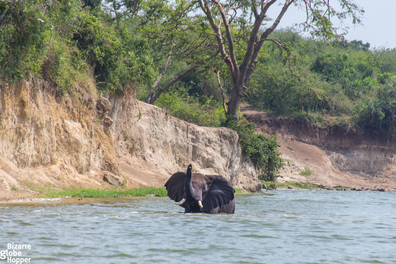 Bathing elephant in the Kazinga channel in Queen Elizabeth National Park in Uganda