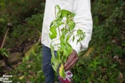 Batwa medicinal plant in Bwindi Impenetrable Forest, Uganda