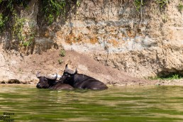 Buffaloes in the Kazinga channel in Queen Elizabeth National Park in Uganda