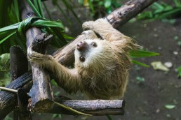Cute sloth at the Tree of Life wildlife sanctuary in Cahuita, Costa Rica