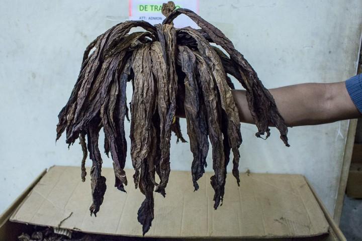 Dark tobacco leaves esteli nicaragua