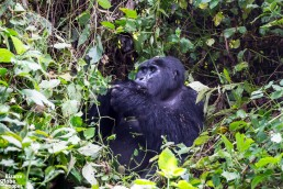 Hungry mountain gorilla concentrated in eating in Bwindi Impenetrable Forest National Park, Uganda