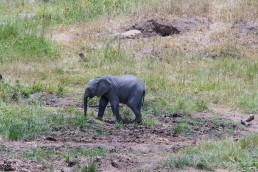 A baby elephant is taking a sand bath in Tarangire National Park in Tanzania