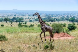 Giraffe in the Tarangire National Park in Tanzania