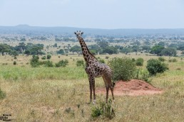 Giraffe in Tarangire National PArk, Tanzania