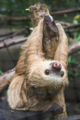 Happy sloth posing at the Tree of Life wildlife sanctuary in Cahuita, Costa Rica