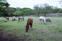 Horses of Rancho Chilamate, Nicaragua