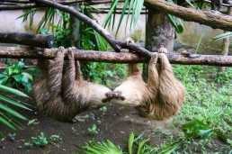 Kissing sloths at Tree of Life Wildlife Sanctuary in Cahuita, Costa Rica