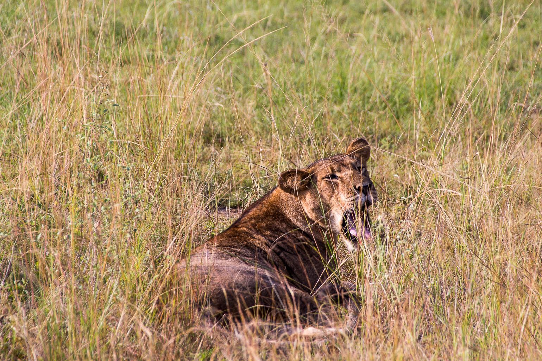 Lioness in the bush in the Queen Elizabeth National Park, Uganda