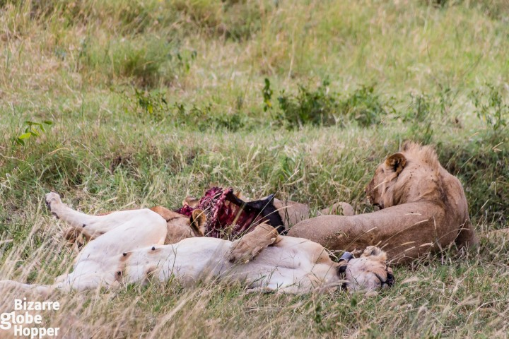 Lions resting by a carcass in Serengeti National Park, Tanzania