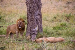 Lions in the Serengeti, Tanzania