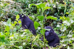 A little mountain gorilla in Bwindi Impenetrable Forest National Park, Uganda