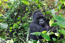 A curious mountain gorilla looking at us in Bwindi Impenetrable Forest National Park, Uganda