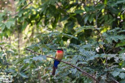 Colorful, little bird in Murchison Falls National Park, Uganda