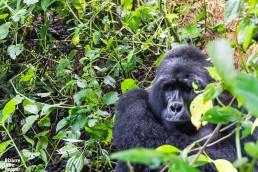 A mountain gorilla peeking at us in Bwindi Impenetrable Forest National Park, Uganda