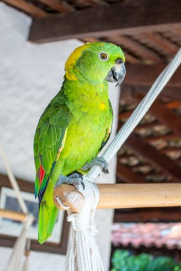 Friendly, resident parrot at Rancho Chilamate, Nicaragua
