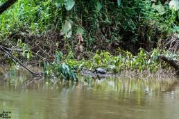 River turtle in Rio Indio, Reserva Biológica Indio Maíz, Nicaragua