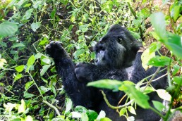 A scratching mountain gorilla in Bwindi Impenetrable Forest National Park, Uganda