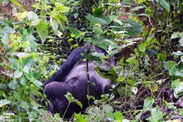 A Silverback mountain gorilla in Bwindi Impenetrable Forest National Park, Uganda
