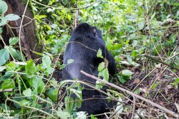 The back of a mountain gorilla in Bwindi Impenetrable Forest National Park, Uganda