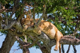 Sleepy lion on the branches of a tree in Masai Mara, Kenya.