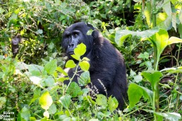 Thoughtful mountain gorilla in Bwindi Impenetrable Forest National Park, Uganda