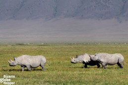 Three black rhinos in Ngorongoro Conservation Area, Tanzania