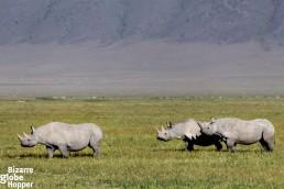 Three black rhinos in Ngorongoro Conservation Area, Tanzania