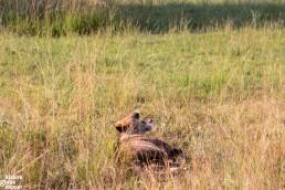 Tired lion resting in the Queen Elizabeth National Park, Uganda