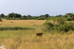 Lion walking into the bush in Queen Elizabeth National Park, Uganda