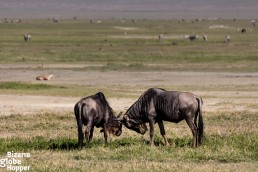 Fighting wildebeest in Serengeti National Park, Tanzania