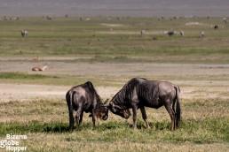 Fighting wildebeest in Serengeti National Park, Tanzania