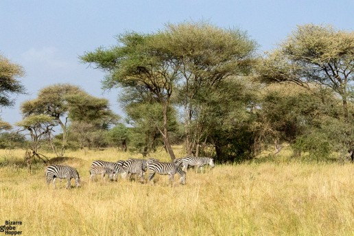 Zebras in Tarangire National Park, Tanzania