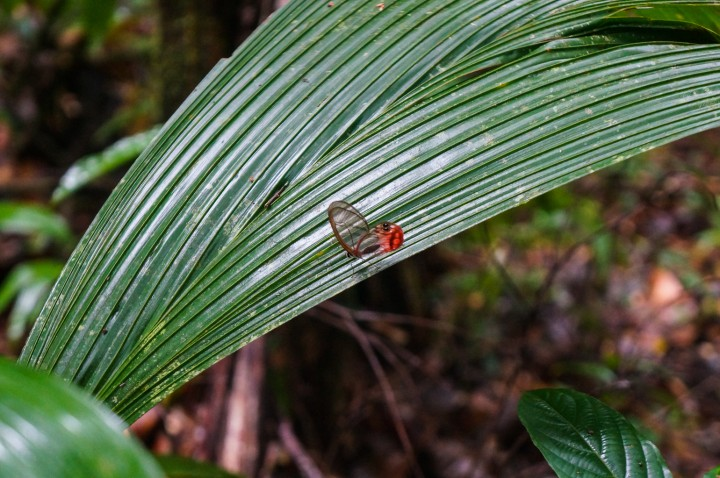 Transparent butterfly in Indio Maiz Biological Reserve