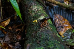 Poisonous brown frog in Indio Maiz Biological Reserve, Nicaragua