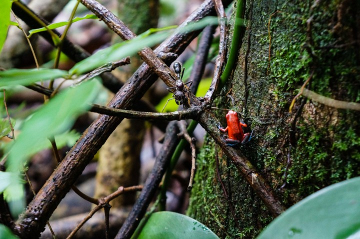 Poisonous, nail-sized red frog in Indio Maiz Biological Reserve