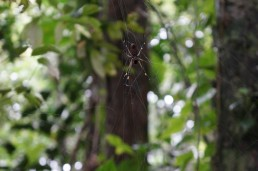 Poisonous spider, Indio Maíz, Nicaragua