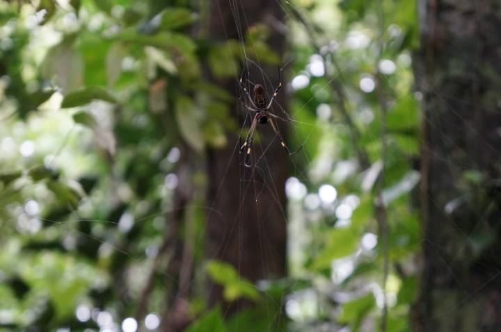 Poisonous spider, Indio Maíz, Nicaragua