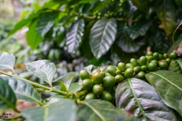 Premium coffee beans at La Bastilla Coffee Farm, Nicaragua