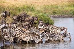 Zebras and wildebeest drinking in the Serengeti National Park