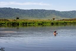 Hippo yawning at the hippo pool, Ngorongoro crater, Tanzania