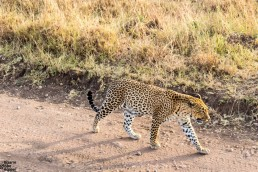 Leopard at zero distance in Serengeti National Park, Tanzania