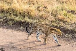 Leopard at zero distance in Serengeti National Park, Tanzania